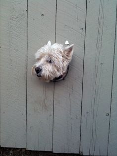 Westie peep hole in the fence