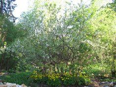 Kriikunapuiden kukkiessa