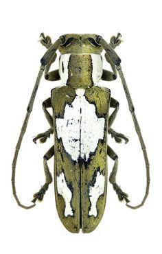 Adesmus divus (Chabrillac, 1857) F Cerambycidae