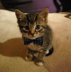 Fancy kitten wearing a bow tie. Too Cute!