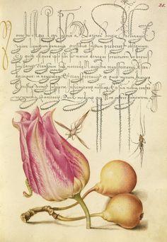 Joris Hoefnagel fue uno de los primeros artistas en aplicar con rigor el naturalismo en las naturalezas muertas o láminas de especies