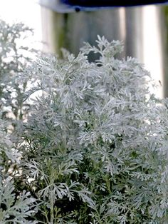 Artemisia 'Parfum d' Ethiopia'  Growing Conditions: Full sun and well-drained soil  Size: To 18 inches tall and wide        New-for-2012 silver-leafed beauty looks beautiful with everything thanks to its soft, fine-texture, ferny foliage. It's more than a delight to the eyes, though --- you'll love the plant's sweet fragrance, too. Be sure to site it where you'll be able to brush your hand over the leaves to release the smell!