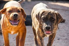www.elitek-9.com  #bandogge, #protectiondogs, #CEO, #militaryk9, #exotics #vonriesig American Bandogge Mastiff, Executive Protection, Working Dogs, Luxury Life, Dog Training, Travel, Animals, Luxury Living, Viajes