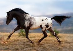 equinely:  mysleepykisser-with-feelings-hid:  Kondos Eagle Vision  is a phenomenal appaloosa stallion  (more animal posts here)             so sassy