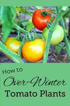 How To Over Winter Your Tomato Plants Tomato Plants Growing Tomatoes Indoors Tomato Garden