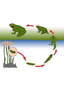 Librairie-Interactive - Le cycle de la grenouille