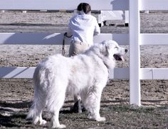 beautiful guard dog :) Had a Great Pyree.  he was wonderful...miss him a lot.