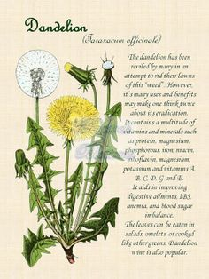 Dandelion Herbal Botanical Art Canvas Print
