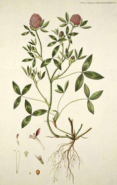 Red Clover | Monographs | The Herbarium