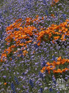 California Poppies and Globe Gilia, Tehachapi Mountains, California, USA at Art.com