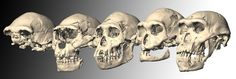 In Photos: Amazing Human Ancestor Fossils from Dmanisi   LiveScience