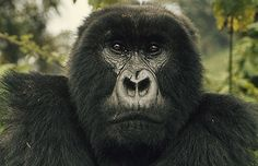 Digit by Diane Fossey (herself ) published by National Geographic