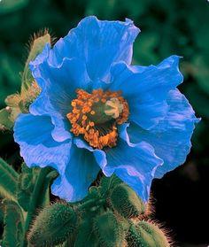 meconopsis Голубой мак- dream