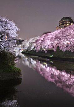 Cherry blossoms, Chidorigafuchi, Tokyo, Japan