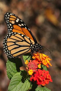 You will always find wonderful butterflies at Cantigny Gardens, in Wheaton, Illinois.