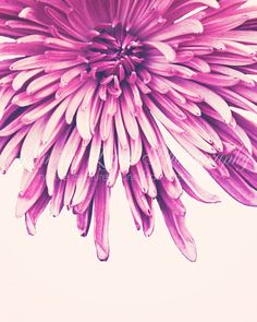 Purple pink spider mum flower photography