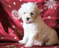 Get A New Puppy Today! View our ADORABLE Newborn Puppies Poodle Puppies For Sale, Puppy Finder, Newborn Puppies, Buy A Dog, New Puppy, Maltese, Dogs, Animals, Animales