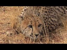 ▶ Cheetah Conservation Fund - Namibia - YouTube