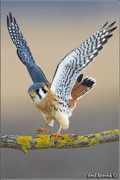Just a Wee Cutie . ~ Kestrel Hawk is one of North America's smallest bird-of-prey or raptors. Kinds Of Birds, All Birds, Birds Of Prey, Love Birds, Three Birds, Flying Birds, Angry Birds, Pretty Birds, Beautiful Birds
