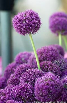 Purple allium - can't have too many of these