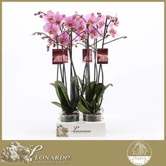 photostock | Phalaenopsis LEVO