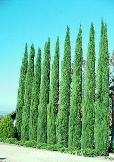 Blue Italian Cypress  Cupressus sempervirens 'Glauca'