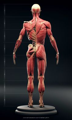 Exceptional Drawing The Human Figure Ideas. Staggering Drawing The Human Figure Ideas. 3d Anatomy, Anatomy Images, Human Anatomy Drawing, Human Body Anatomy, Anatomy Models, Anatomy Sketches, Muscle Anatomy, Anatomy For Artists, Anatomy Back