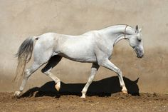 Pirakhmed - Farm stud DACOR