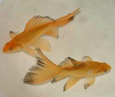 Goldfish - Comet eye Candy :)