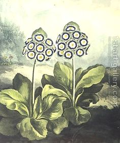 Primrosa Primula auricula, engraved by Sutherland, from Robert Thorntons Temple of Flora 1807