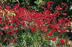 Australian Spring WIldflowers - Kangaroo Paw - Red, Purple, Pink, Gold and orange