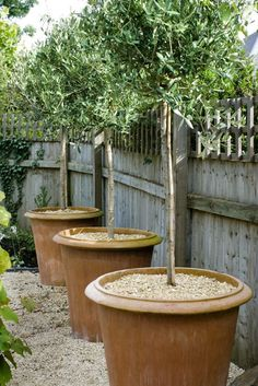 Trees for small gardens Olea europaea the olive tree grows slowly in our climate and this makes them perfect for containers Pinch out the tips when the trees reach around. Potted Olive Tree, Potted Trees, Trees In Pots, Outdoor Potted Plants, Pot Plants, Large Terracotta Pots, Garden Screening, Screening Ideas, Baumgarten