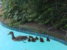 Ducklings swimming behind Momma.