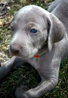 those weimeraner eyes! ...........click here to find out more http://googydog.com
