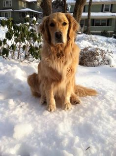 Golden Retriever. So sweet, we hope he checks in to stay with us.