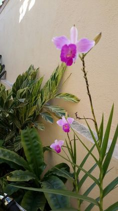 Orquídea bamboo