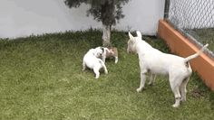 Bull Terrier playing with pups Gif