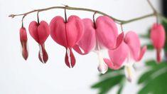 Lamprocapnos spectabilis, Dicentra spectabilis o corazón sangrante - http://jardineriaplantasyflores.com/lamprocapnos-spectabilis-dicentra-spectabilis-o-corazon-sangrante/