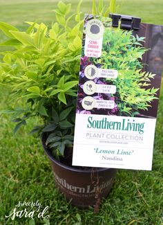 Create a Patio Oasis with Southern Living Plants - Sincerely, Sara D. Lemon Lime Nandina, Sunshine Ligustrum, Landscaping Around House, Agapanthus, Unique Plants, Trees And Shrubs, Southern Living, Container Gardening, Home Crafts