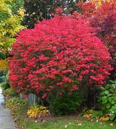 Burning Bush is a fiery red fall color in a low maintenance shrub. The reddest red you will find! Very fast growing! Lush foliage is perfect for hedges. Grows in sun or shade! Order fresh online today for fast delivery! Types Of Mulch, Types Of Soil, Burning Bush Shrub, Burning Bush Plant, Full Sun Shrubs, Euonymus Alatus, Low Maintenance Shrubs, Flowering Bushes, Gardens