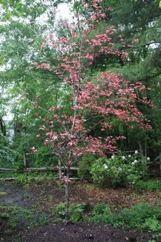 Fagus sylvatica 'Verkades Tricolor':  Striking foliage is purple with irregular pinkish-white and rose borders. A colorful addition to the landscape, giving an overall pink effect.