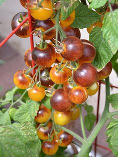 Tomato Eclipse Fireball F1 Hybrid