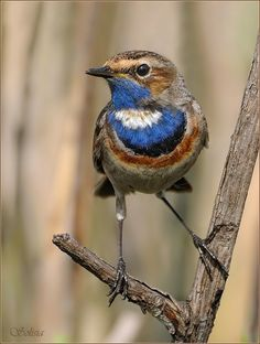 blue-throat flycatcher