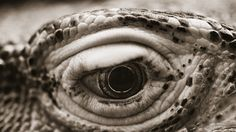 Komodo Dragon–Varanus komodoensis from ANIMALIA Photographs by Henry Horenstein Sea Dragon, Dragon Eye, Woodland Creatures, Mythical Creatures, Crocodile, Wild Animals Pictures, Komodo Island, Komodo Dragon, Creature Feature