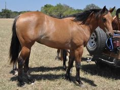 dun horse | Dun Quarter Horses For Sale L.a. waters quarter horses