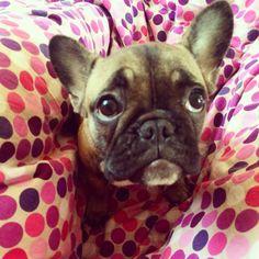 Puppy french buldog :)