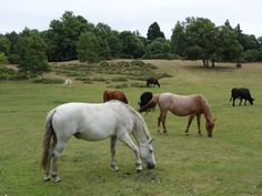 New Forest ponies: Lyndhurst, Hampshire