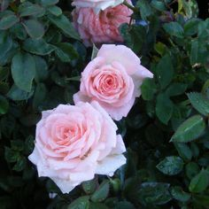 Cupcake Rose 1 Gallon Miniature Rose Grown by FreshOrganicBodyCare, $18.95