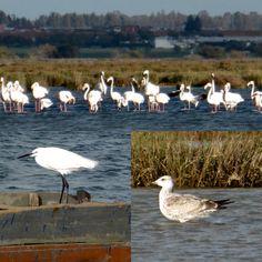 oiseaux migrateurs de la Merja Zerga, morocco
