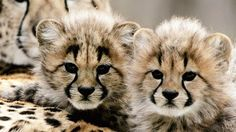 Two cheetah cubs lean against their mother during a preview showing at the National Zoo, Feb. 4, 2005, in Washington. (Win McNamee/Getty Images)  | The Weather Channel